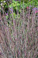 Schizachyrium scoparium aka Andropogon scoparius (Little Bluestem ornamental grass) at end of summer