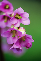 Close-up view of heart of Bergenia crassifolia var. pacifica, in Spring, photographer's garden, Vancouver, BC.