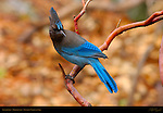 Pacific Steller's Jay on Manzanita branch, Cyanocitta stelleri, Mirror Lake, Yosemite National Park