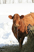 Vertical image of a shoulder shot of a  Saler beef animal standing beside hay feeder outside in winter