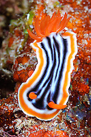 Magnificent chromodoris nudibranch, Maratua, Kalimantan, Indonesia.