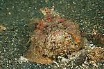 Stonefish.(Synaceia horrida).