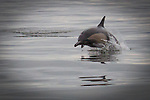 Common dolphin swims through Marine Protected Area off Los Angeles, CA