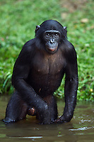Bonobo adolescent male wading in water (Pan paniscus), Lola Ya Bonobo Sanctuary, Democratic Republic of Congo.