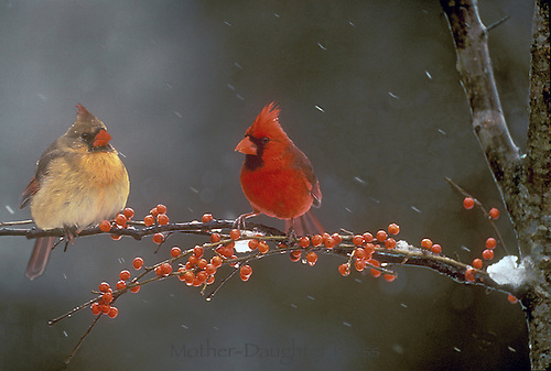 Male and female Northern cardinals, Cardinal cardinalis, on branch with red berries in snow