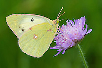 Berger's Clouded Yellow butterfly; Colias alfacariensis; Ruggellerriet, Liechtenstein