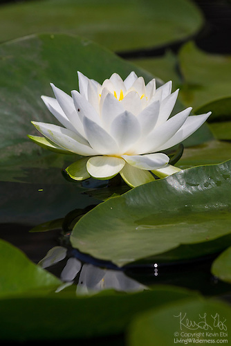 Fragrant Water Lily in Bloom, Washington Park Arboretum, Seattle, Washington