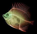 X-ray image of a butterflyfish (red yellow on black) by Jim Wehtje, specialist in x-ray art and design images.