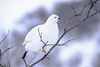 Willow Ptarmigan in white plumage perches on a tree branch in arctic, Alaska.