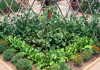 Vegetables in Garden with peas on rustic wood branch trellis, lettuces, interplanted with companion marigolds, spinach