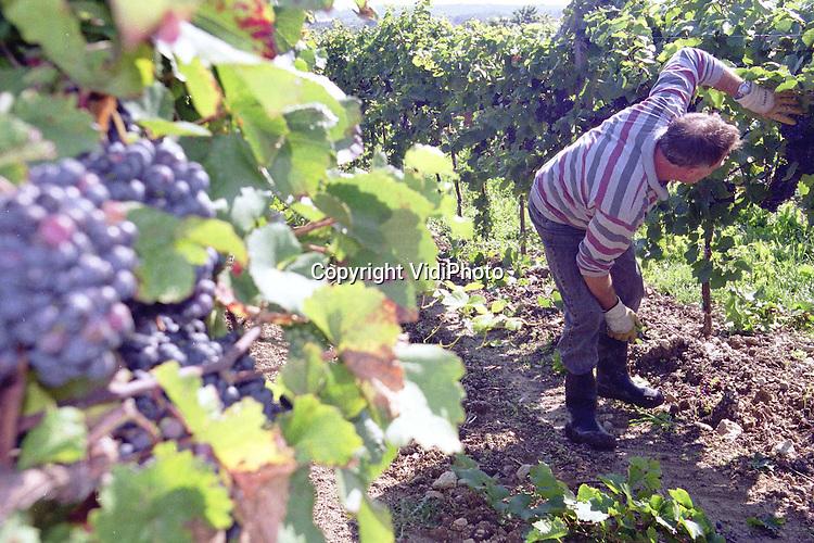 """Foto: VidiPhoto..SOOß - Een Hongaarse man knipt de overtollige blauwe Zweigelt-druiventrossen weg in een wijngaard bij Sooß, zo'n 20 kilometer ten zuiden van Wenen. Ondanks de hoge werkloosheid in Oostenrijk, is het -net als in Nederland- voor fruittelers en wijnboeren vrijwel onmogelijk om aan arbeidskrachten te komen. Werklozen willen niet en buitenlanders worden door de overheid geweerd, aldus wijnboer Franz Grabner uit Sooß. Over twee tot vier weken begint de oogst. Zoals het er nu naar uit ziet zorgt 1999 voor een """"superkwaliteit wijn"""" in Oostenrijk.."""
