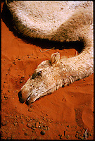 Near El Ram, NE Kenya, March 2006.A dead camel in the bush. More than 4 millions people are affected in the region by the worst drought in man's memory. The livestock is decimated and a whole lifestyle threatened.