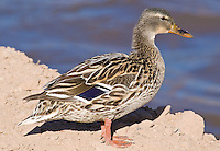Mallard hen, Arizona, USA