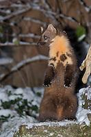 """Baummarder, Männchen, Rüde steht aufrecht und hält Ausschau, macht """"Männchen"""", im Winter bei Schnee, Baum-Marder, Edelmarder, Edel-Marder, Marder, Martes martes, European pine marten"""