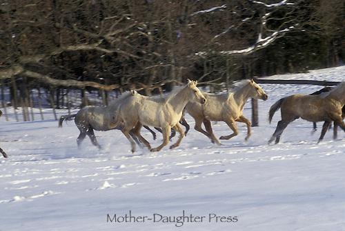 Quarter horses running in the snow, focus on white horses in trees along edge of field