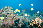 Rainbow Reef, Somosomo Strait, Fiji; a school of Pyramid Butterflyfish (Hemitaurichthys polylepis) swim above the coral reef