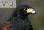 Adult Male Harris' Hawk (Parabuteo unicinctus) Arizona, USA