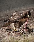 Sharp-shinned hawk eating a rabbit on the roadside near Beaverton, Oregon