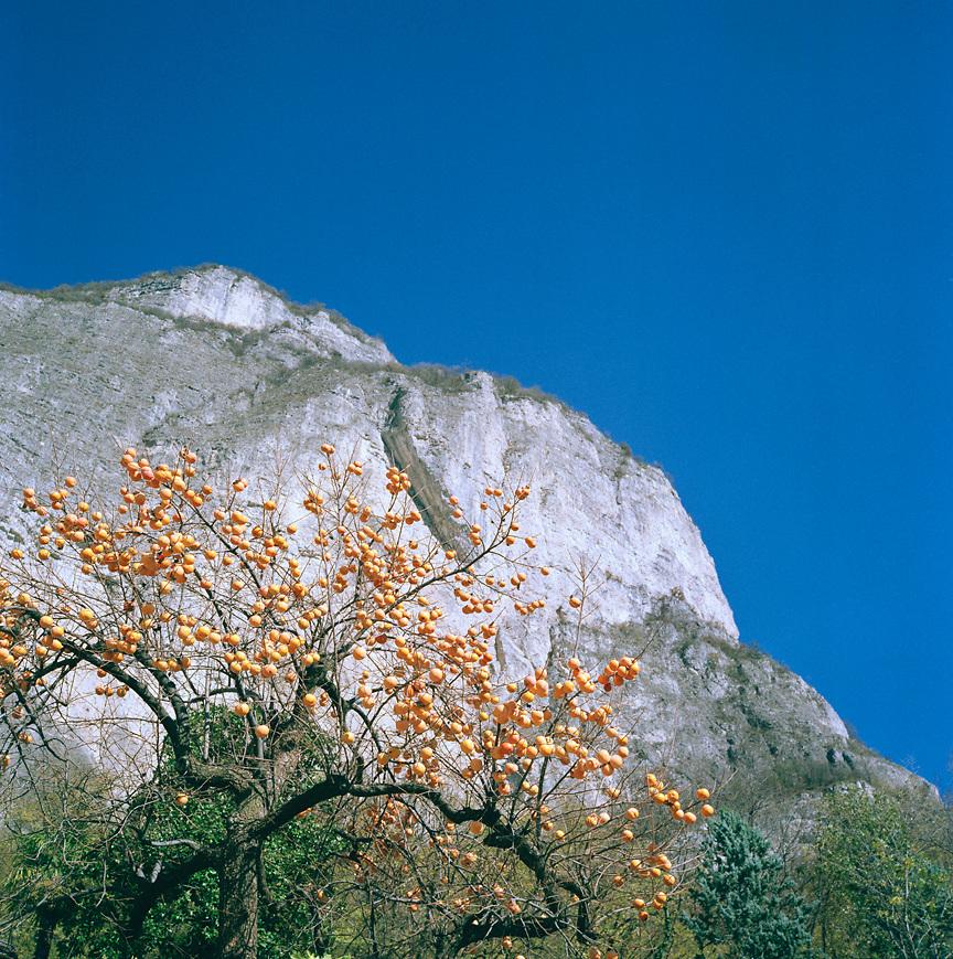Cachi tree in Northern Italian Alps, ITALY
