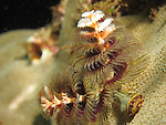Kenting, Taiwan -- The Christmas tree worm, Spirobranchus giganteus, on coral substrate<br />