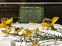Bee pollinated Glass Flowers Exhibit Harvard Museum of Natural History