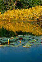 Afternoon light reflecting blooming tickseed, Coreopsis, and water lilies in rural midwest lake