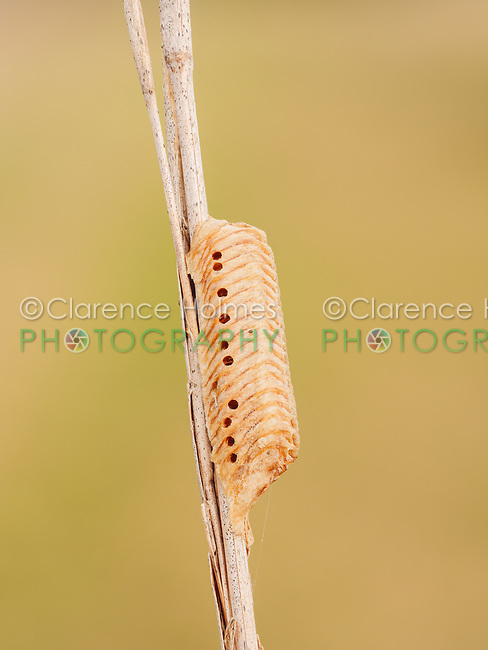 A Large Florida Mantis (Stagmomantis floridensis) ootheca (egg mass) attached to a marsh grass stem.