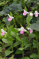 Cypripedium reginae (Showy Ladyslipper) in garden use with other plants