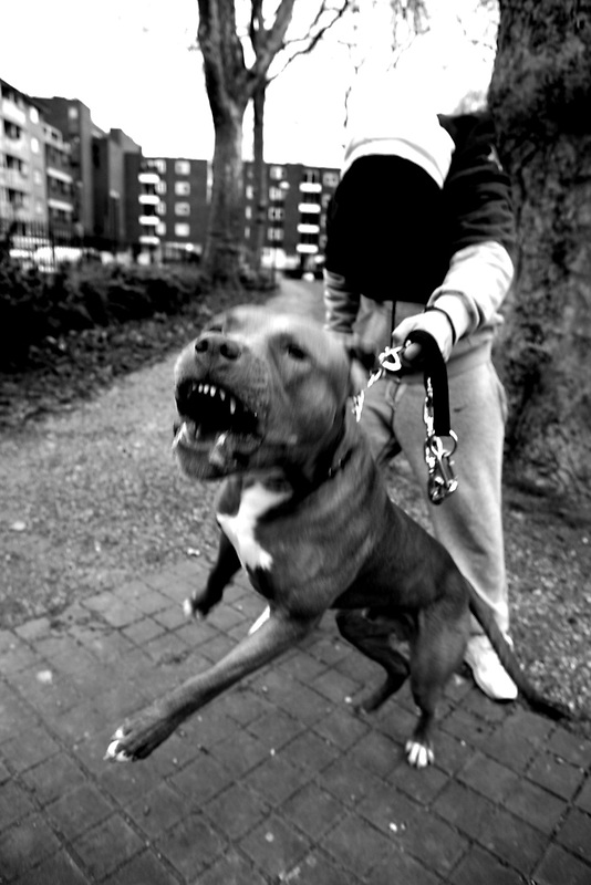 Pit Bulls in London