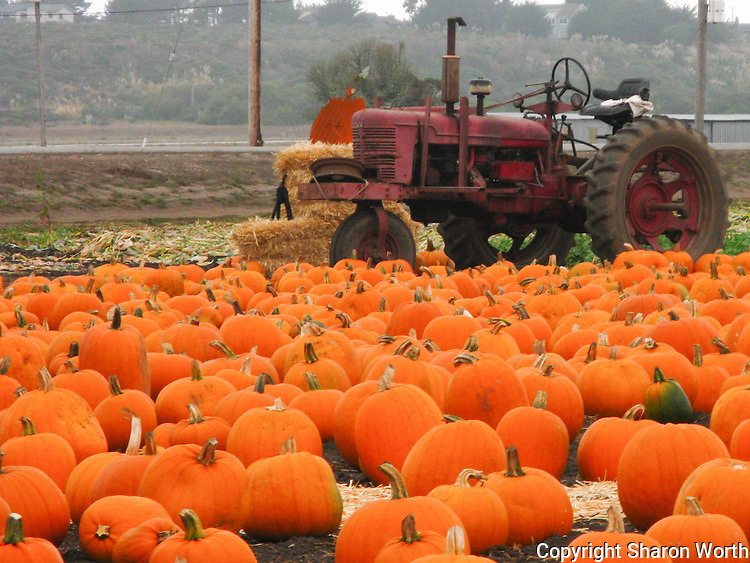 Away from the city, pumpkins and tractors just naturally go together.
