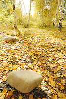 Autumn season scenery of forest floor covered in bright yellow colored leaf with large rocks.