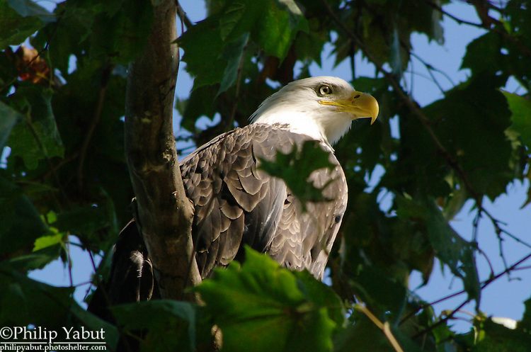 A bald eagle gets some sun and a little glint in the eye while sitting on a low branch.