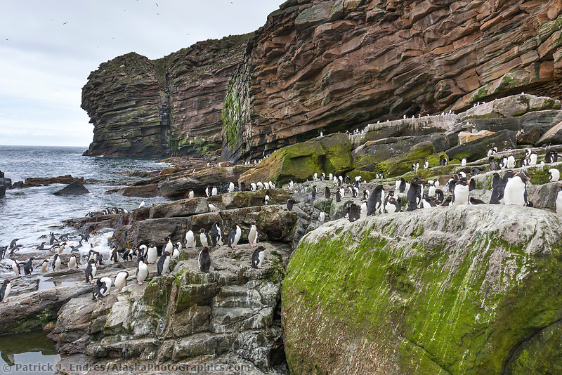 Rockhopper penguin colony. New Island, Falkland Islands, United Kingdom