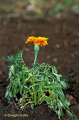 HS14-013a  Marigold - wilted (wilt series - see HS14-012a,017z) - Tagetes spp.
