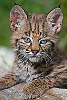 Bobcat kitten portrait - CA