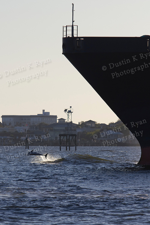 Dolphin Jumping bow wake of Container Ship Charleston Harbor South Carolina