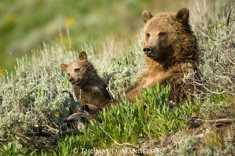 Mother and cub brown bears lay on hillside in Yellowstone National Park.
