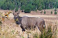 Nyala buck, Mlilwani, Swaziland