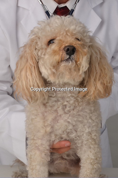 Stock photo of a veterinarian and a poodle