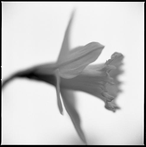 Daffodil III by Paul Cooklin