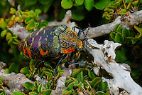Colorful Beetle (Julodis clouei) endemic to Socotra, Yemen