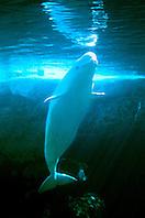 belugas or white whale (c), .Delphinapterus leucas, .discontinuous circumpolar..