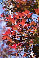 Cotinus Royal Purple smokebush in spring foliage color