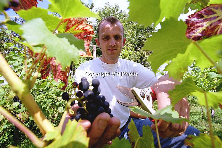 Foto: VidiPhoto..DODEWAARD - Het is bepaald niet de enige, maar waarschijnlijk wel de meest bijzondere wijngaard van Nederland. De duizend druivenstruiken van restauranthouder Ino Venhorst in Dodewaard, eigenaar van de oudste herberg van Nederland, zijn in ieder geval de enigen die vrijwel ieder jaar een of meer keren onder water staan. De wijngaard ligt namelijk aan de buitenzijde van de dijk, langs de Waal. In de wijngaard staan vijf druivenrassen, waarvan een deel binnenkort voor het eerst geoogst kan worden. Foto: Ino Venhorst snoeit de dode takken uit zijn druivenstruiken.