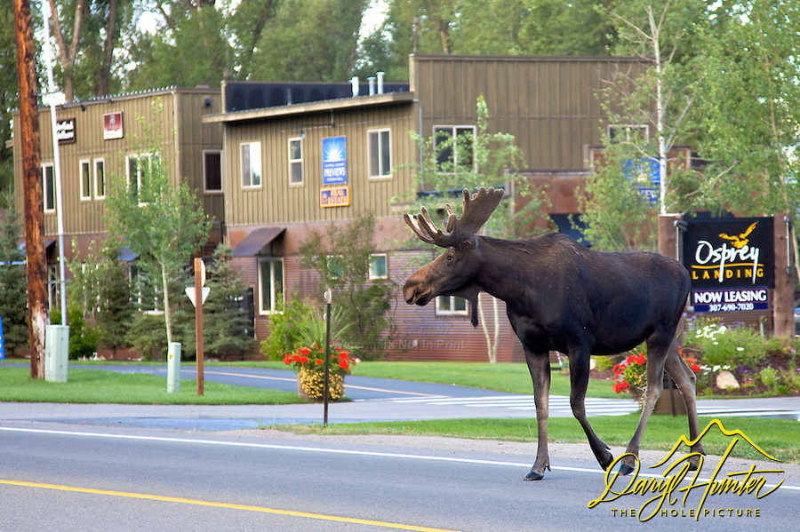Bull Moose Crossing Road, Jackson Wyoming
