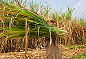 Farmer carries the stems apart from the mature part of the canes.