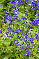 Blue Flowers of speedwell Veronica austriaca subsp. teucrium 'Royal Blue' aka V. spicata 'Glory' aka 'Royal Candles'