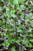 Gewöhnlicher Gundermann, Efeublättriger Gundermann, Gundelrebe, Glechoma hederacea, Alehoof, Ground Ivy