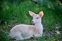 Albino White-tailed deer fawn.  Great Lakes Region.  Summer.
