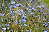 The pale blue flowers of Common chicory (Cichorium intybus)
